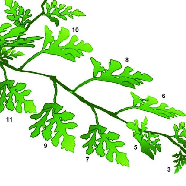 Details of the plant. Watermelon clipart leaf