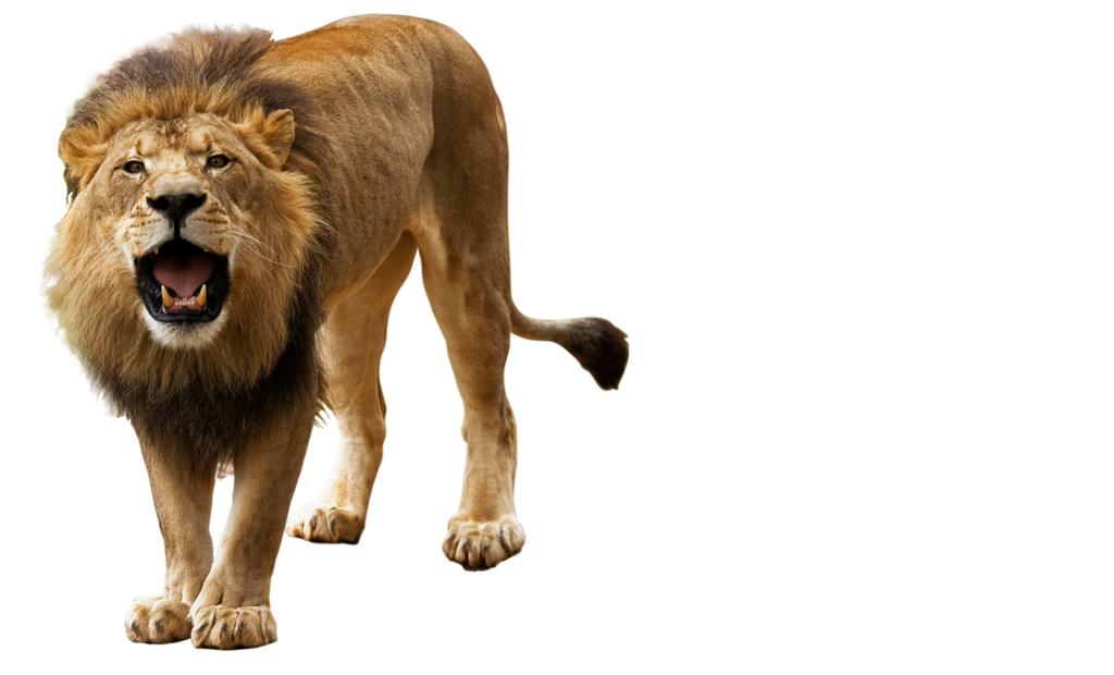 Clipart lion asiatic lion. Image hd png adsleaf