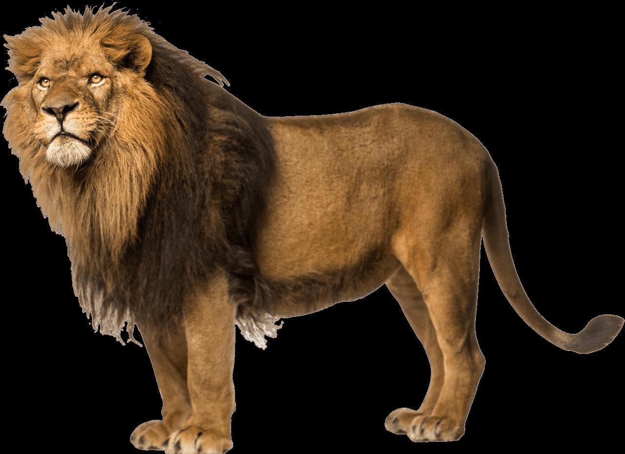 Clipart lion couple. Lions transparent png images