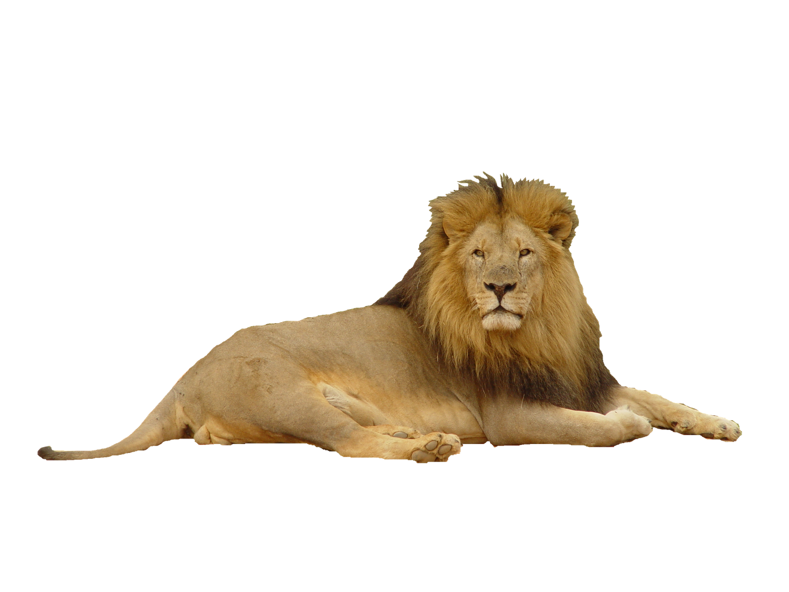 Lion clipart loin. Transparent png pictures free