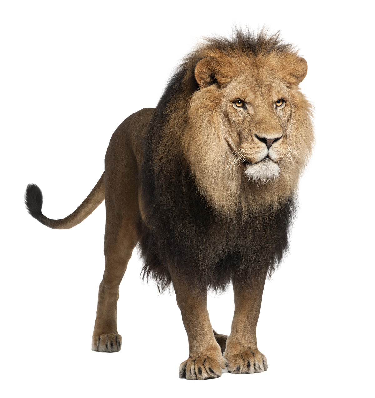 Lions clipart open mouth. Lion png images and