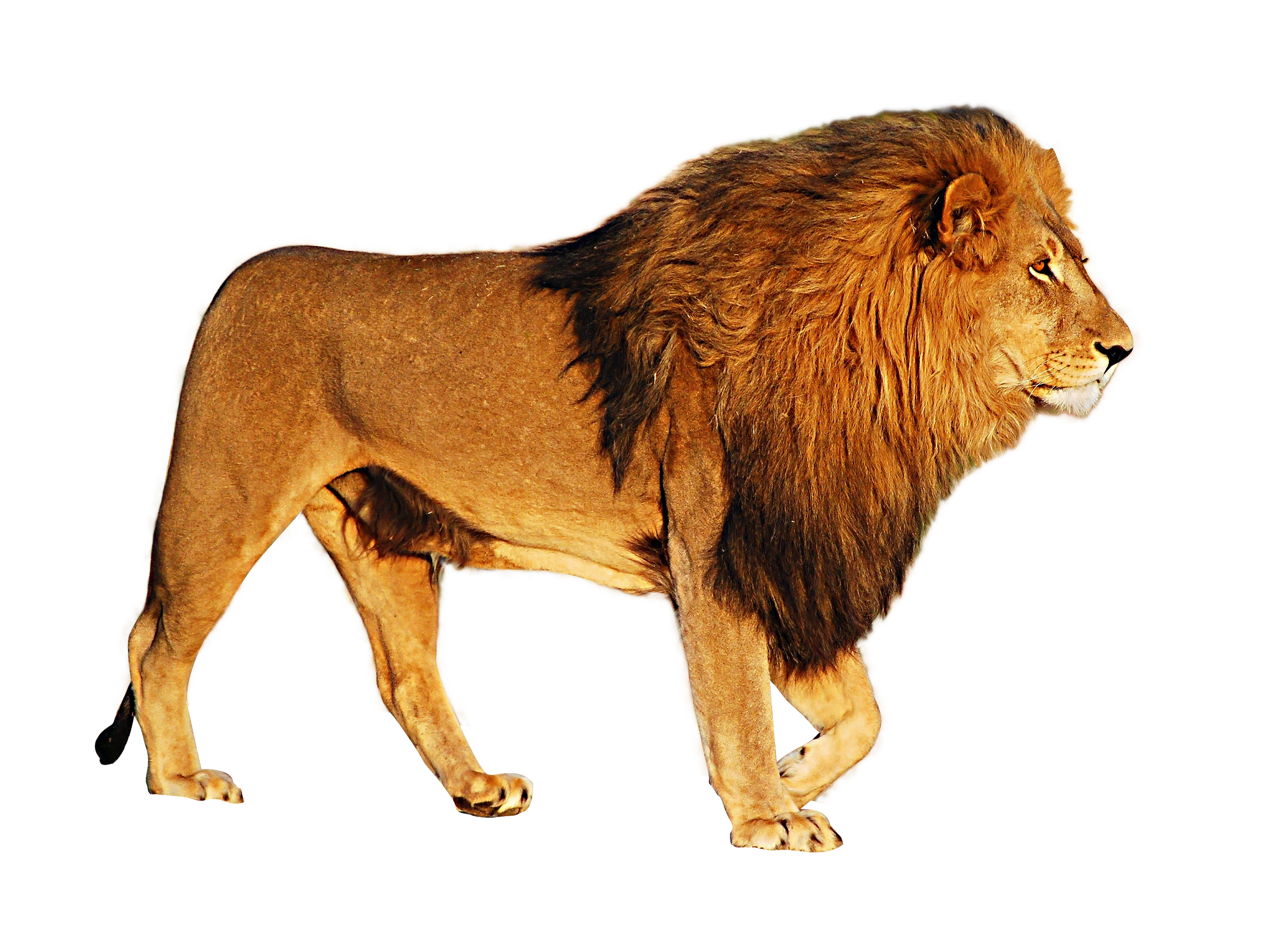 Png images download. Lion free lions