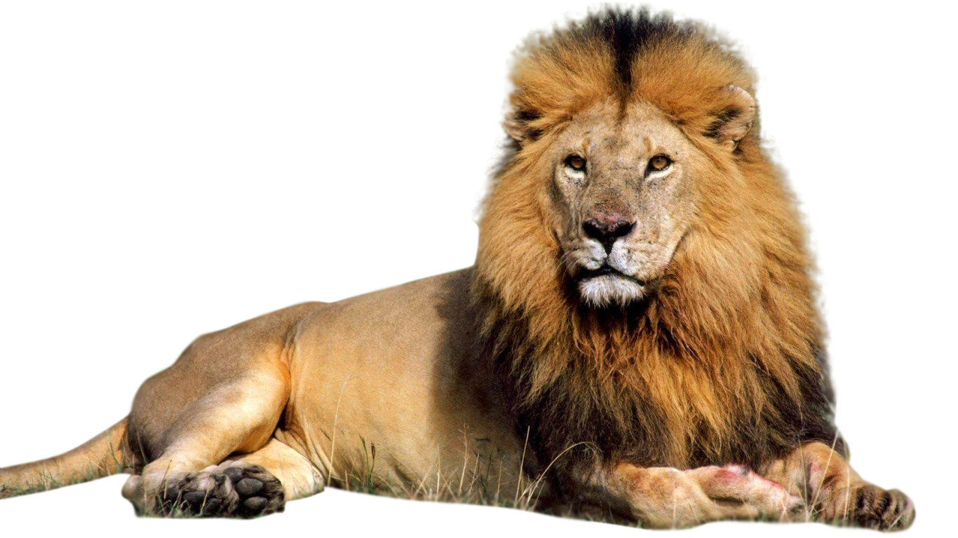 different types of. Lion clipart african lion