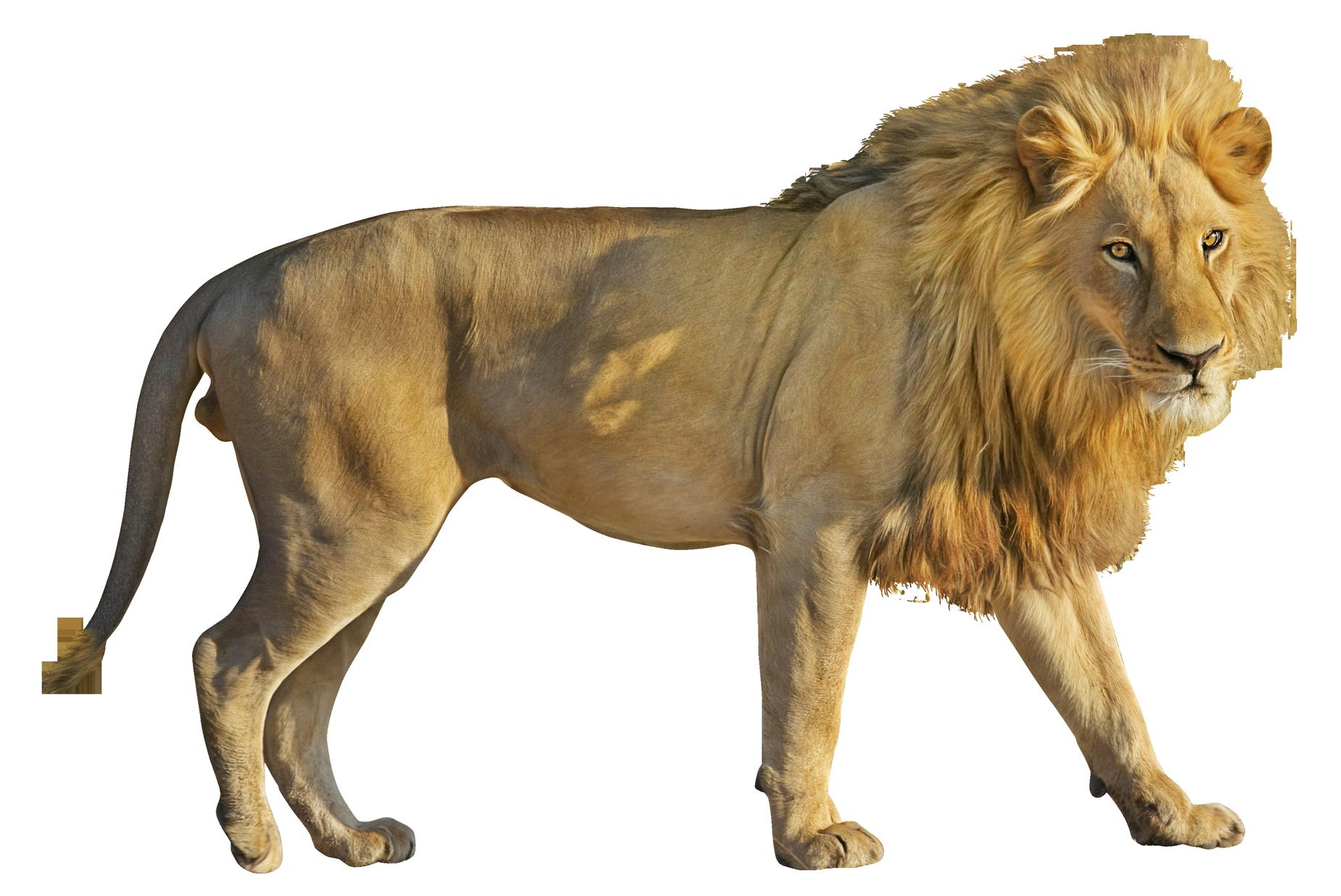 Clipart lion wild animal. Png image purepng free