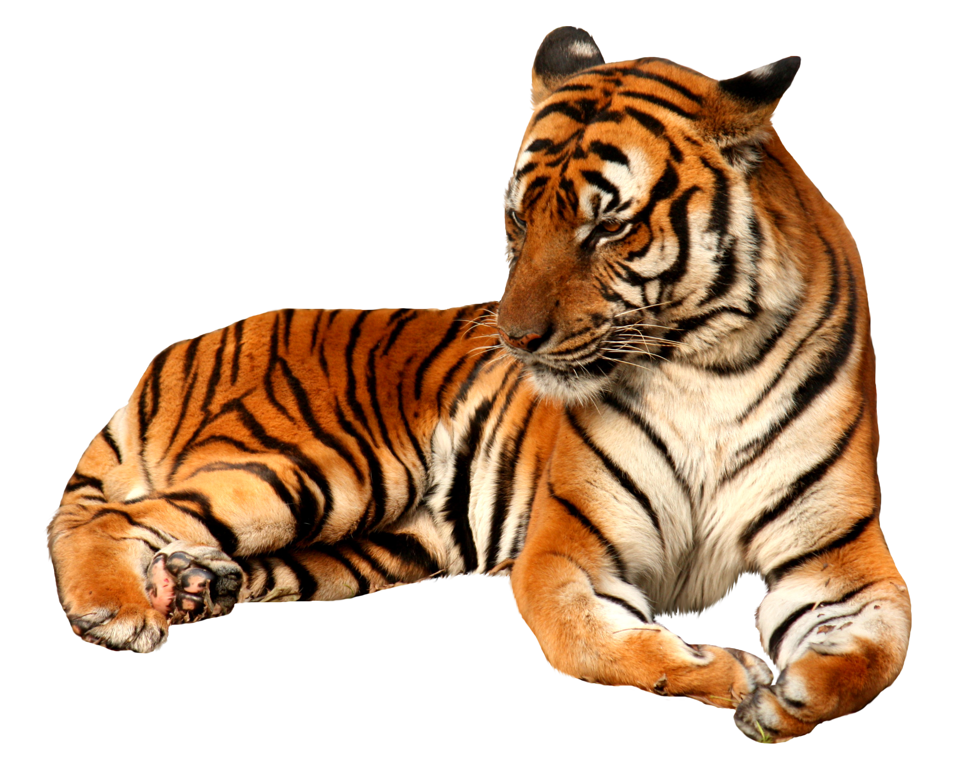 Hunting clipart tiger clipart. Png image without background