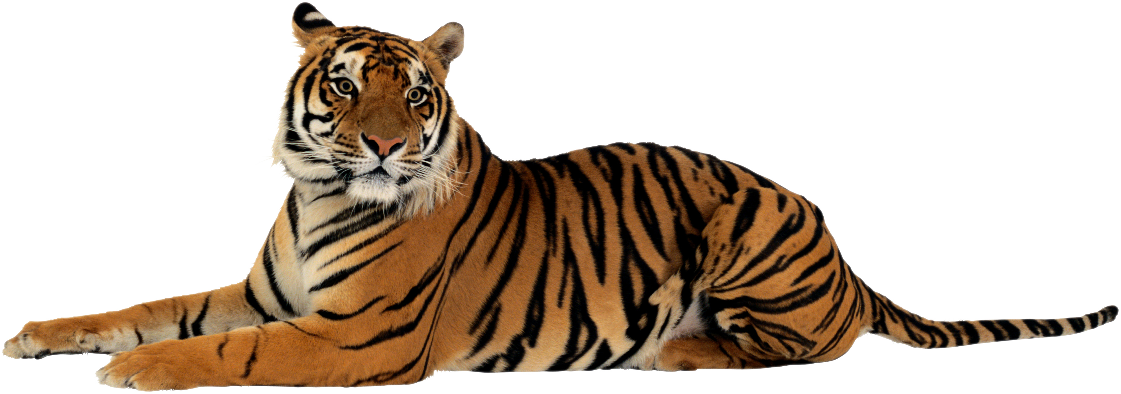 Png transparent images all. Tired clipart tiger