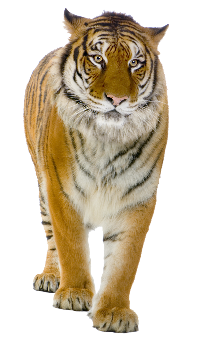 Hands clipart tiger. Six isolated stock photo
