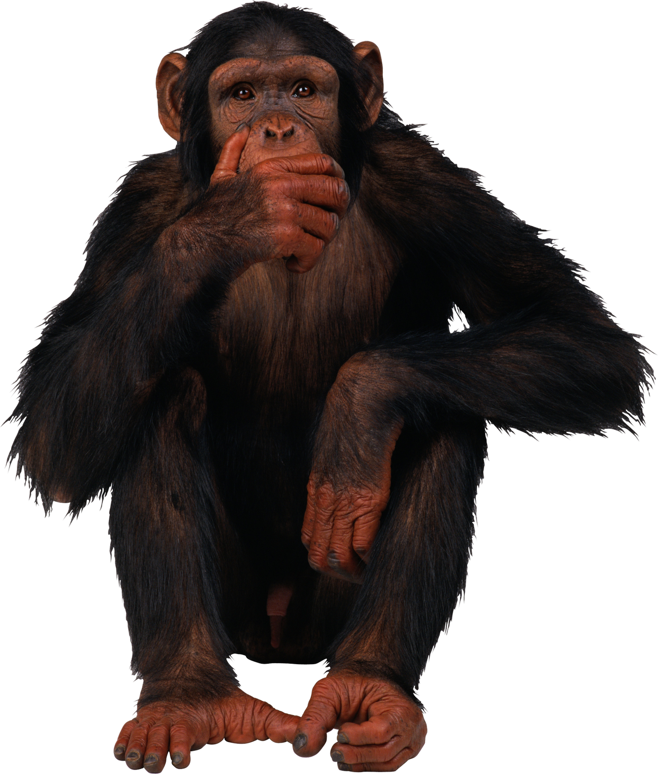 Clipart monkey cheeky monkey. Png web icons