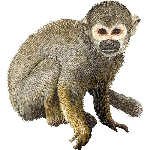 Common picture large clip. Monkey clipart squirrel monkey