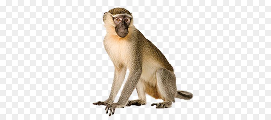 Clipart monkey vervet monkey. Cartoon png download free