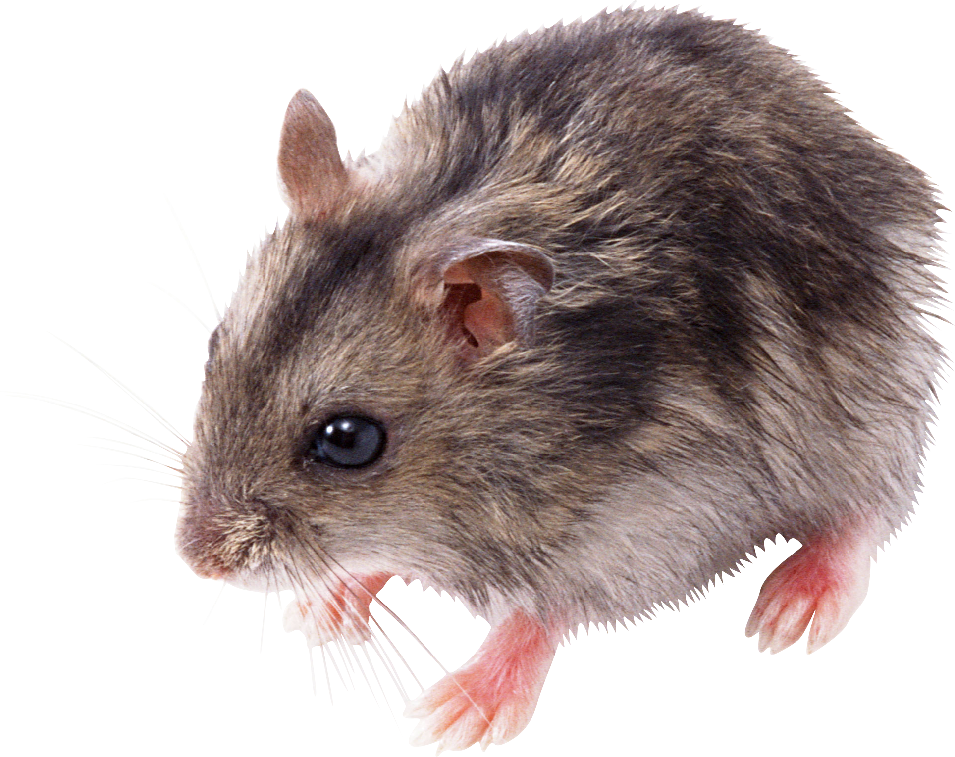 Hamster clipart hamster food. Mouse animal mice png