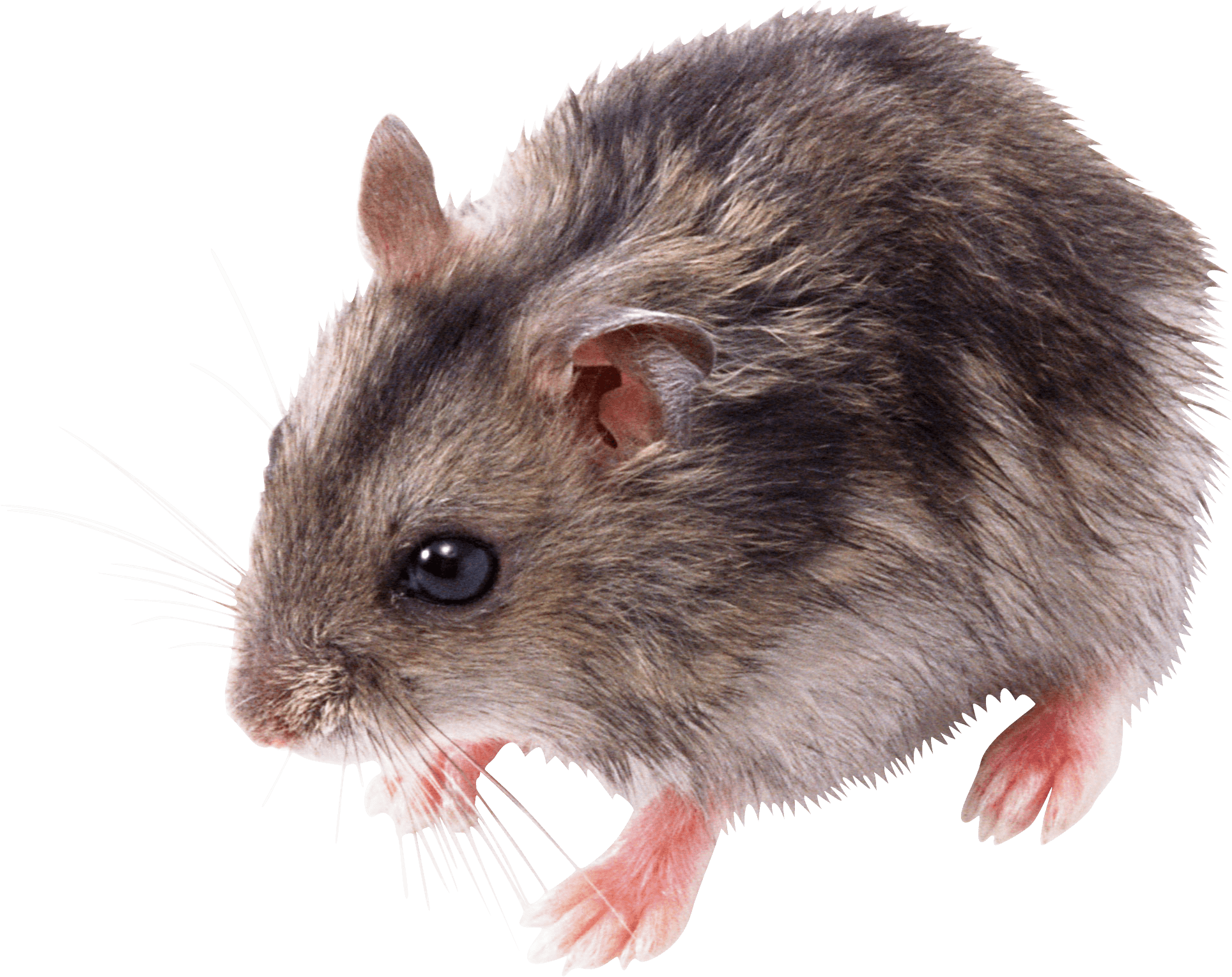 Cute small mouse png. Hamster clipart transparent background