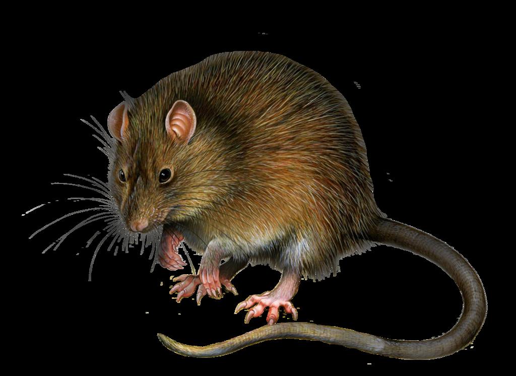 Mouse panda free images. Clipart rat kangaroo rat