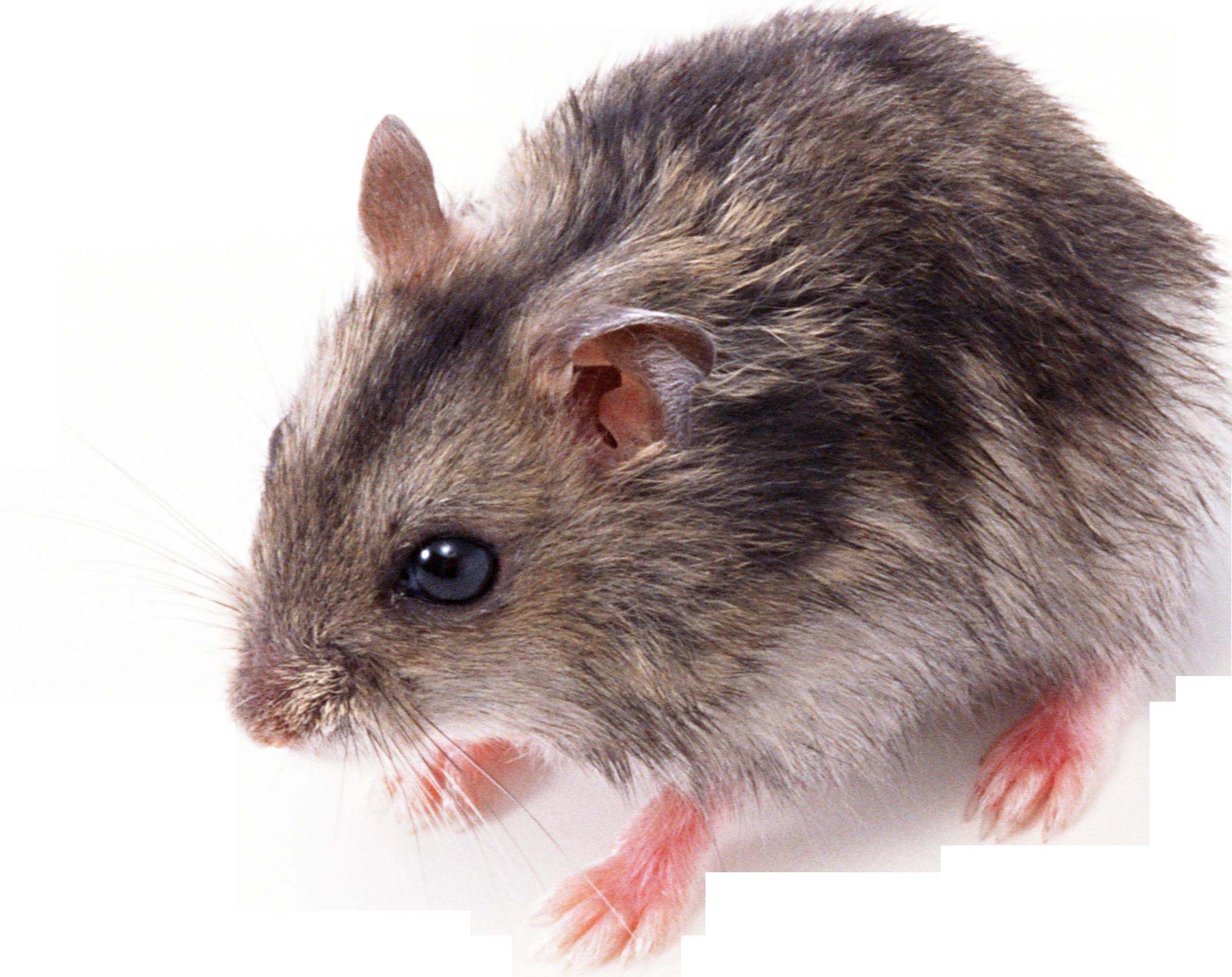 Little png animal pinterest. Clipart mouse rat