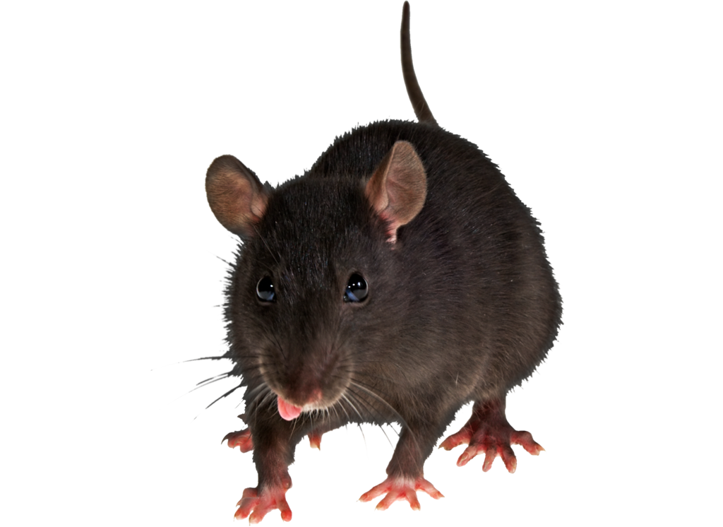 Rat clipart clear background. Mouse picture png image