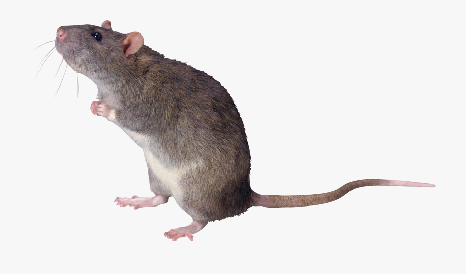 Mice mouse tail png. Clipart rat huge