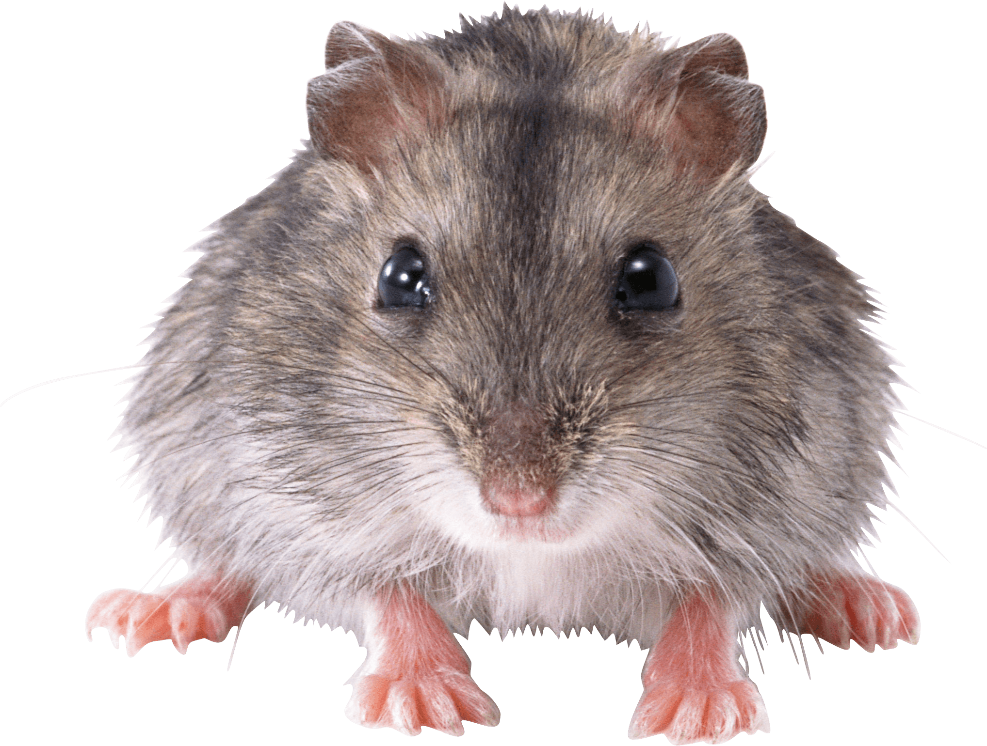 Mouse front transparent png. Hamster clipart cute hamster