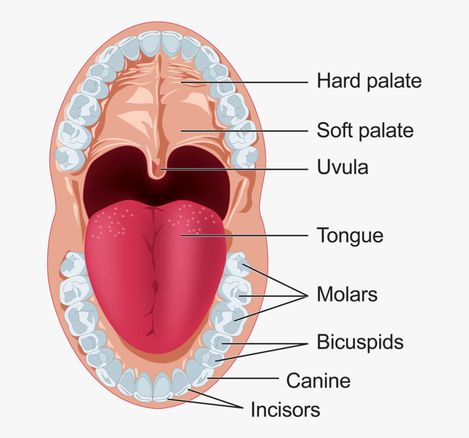 Transparent cartoon . Clipart mouth digestive system mouth