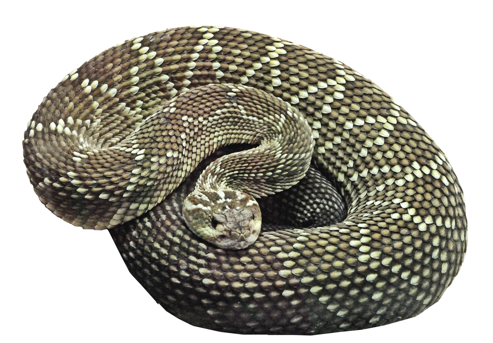 Transparent png pictures free. Cobra clipart scary snake