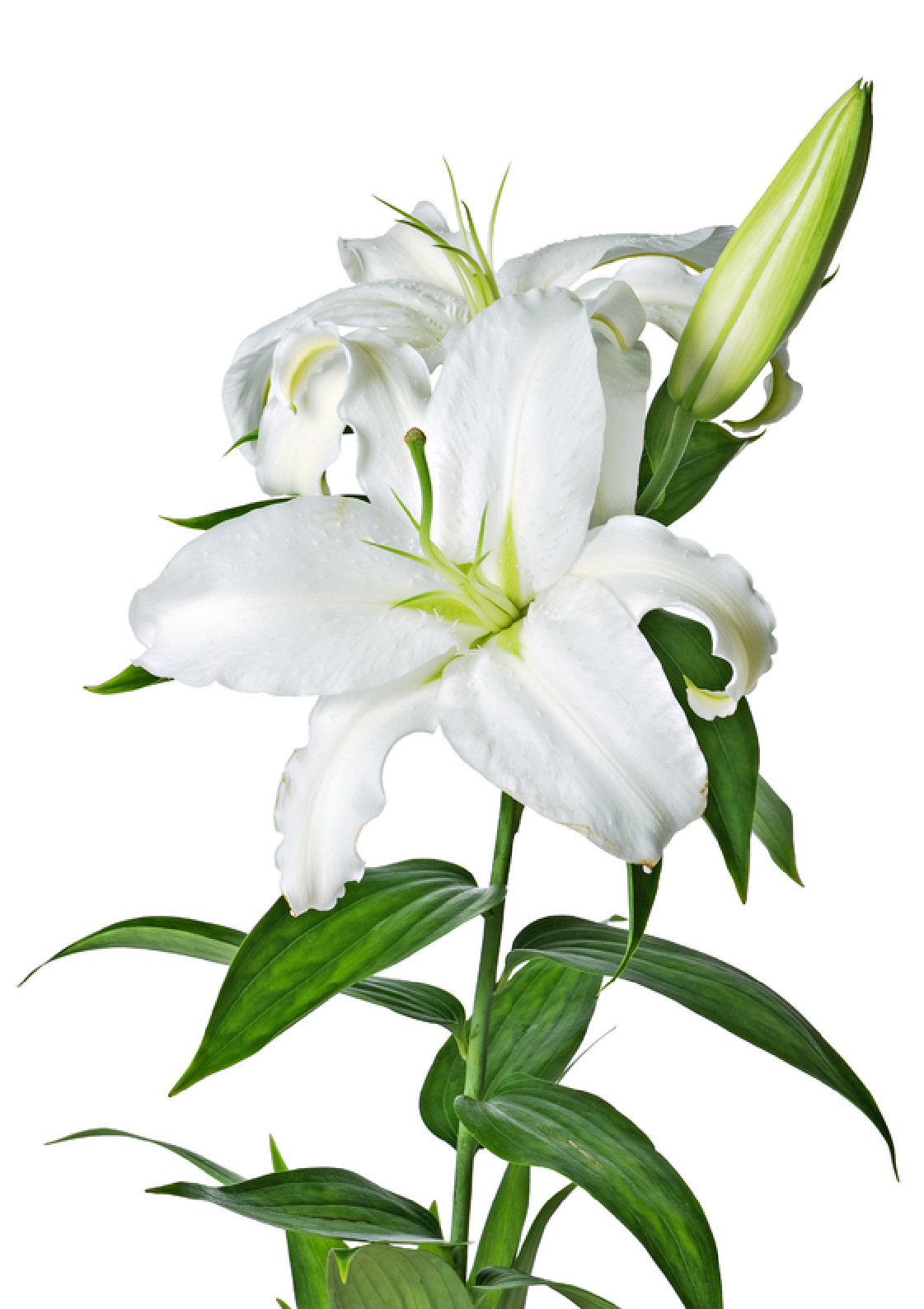 Easter lilies group flower. Funeral clipart funeral program