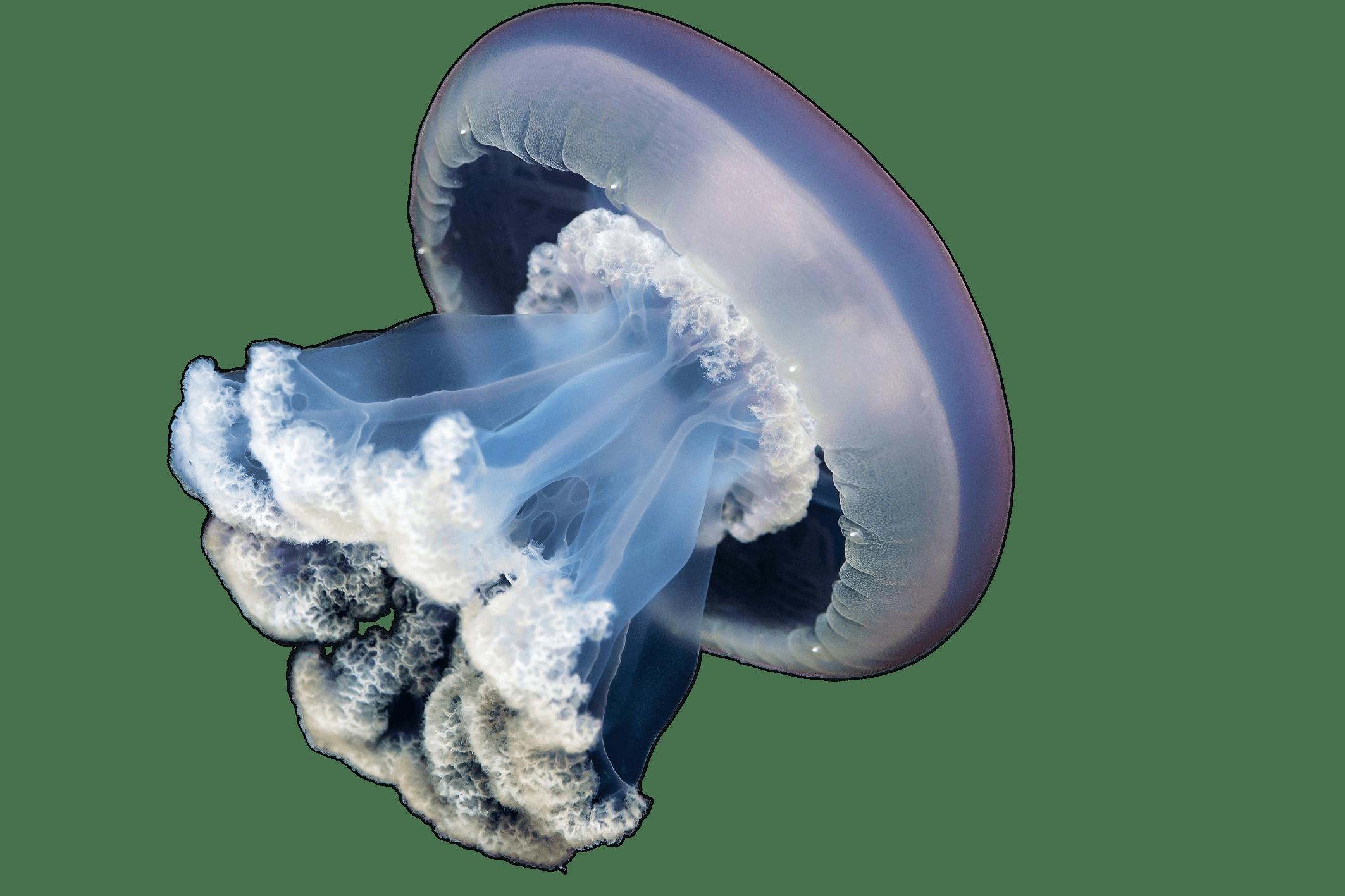 Clipart ocean jellyfish. Png