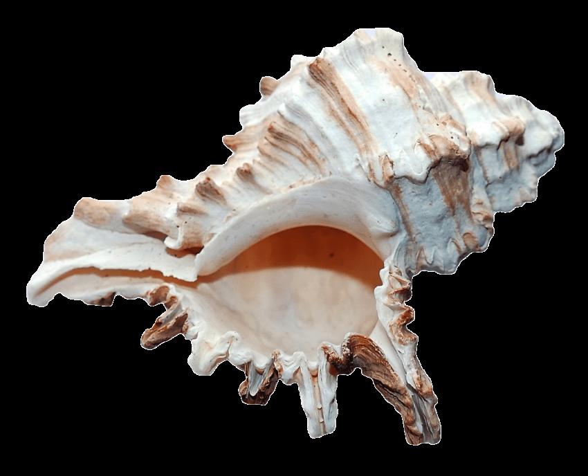 Sea shell png free. Clipart ocean ocean landscape