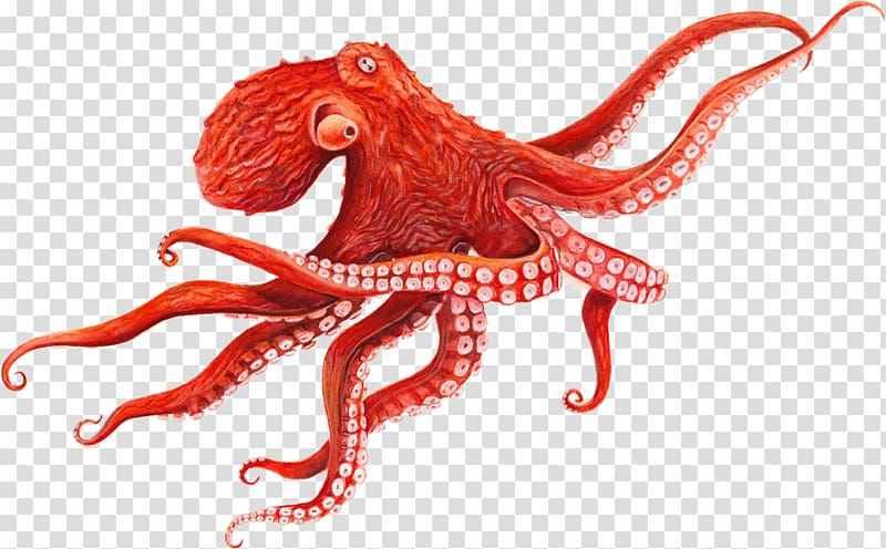 Pacific cephalopod squid baby. Clipart octopus giant octopus