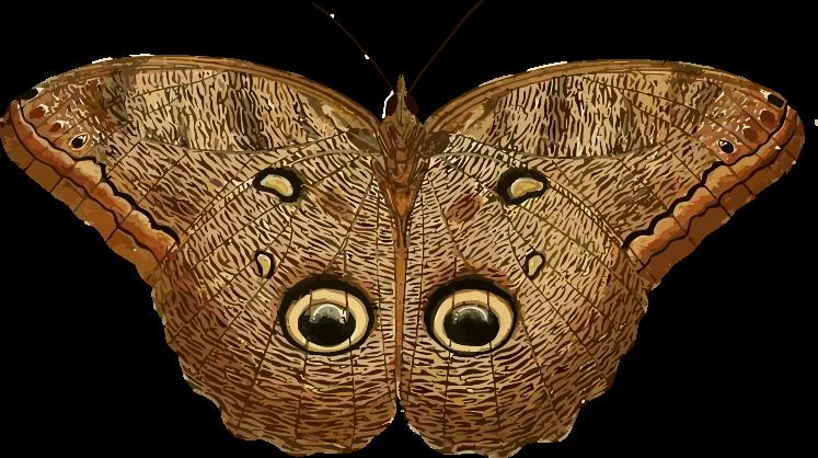 Clipart owl butterfly. Caligo eurilochus animals bugs