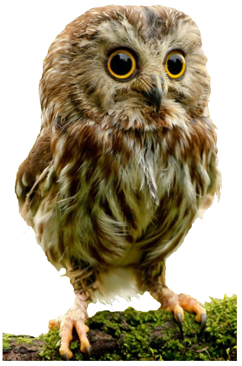 Owls quality png web. Clipart owl high resolution