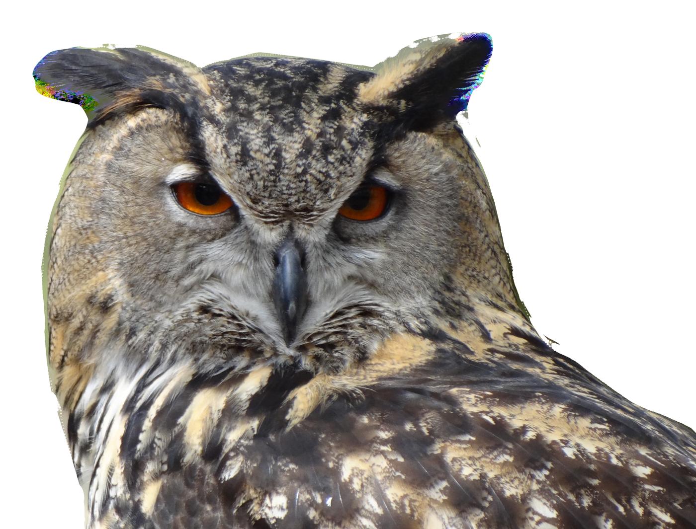 Clipart owl high resolution. Bird png image purepng