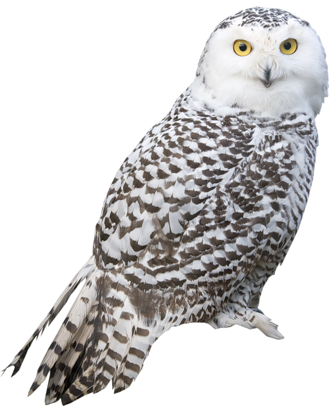 White png picture th. Clipart owl transparent background