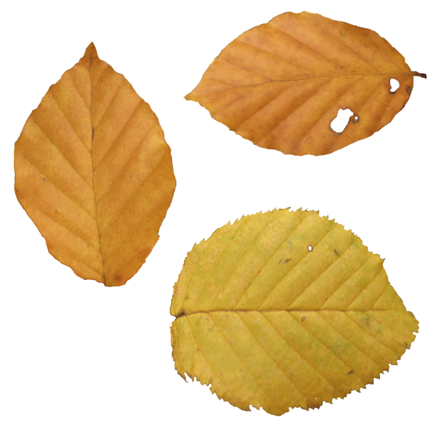 Sample png files. Autumn leaves twelve isolated