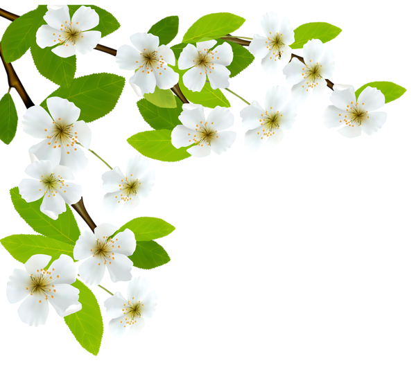 Floral clipart branch. White spring png image