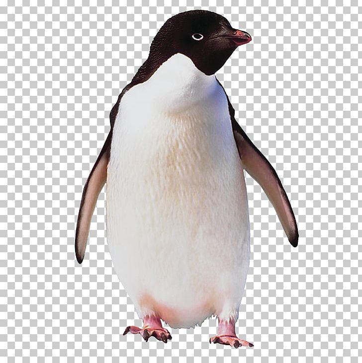 Clipart penguin adelie penguin. Ad lie bird antarctica