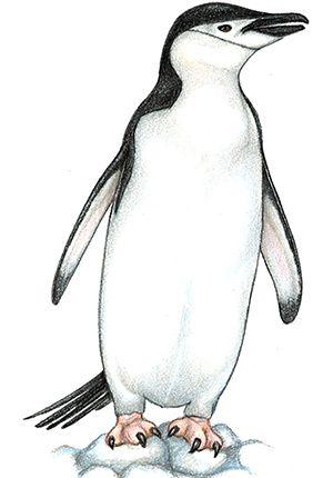 Penguins all about . Clipart penguin chinstrap penguin