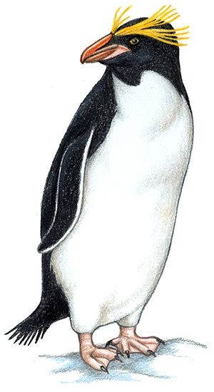 Clipart penguin macaroni penguin. Head toppers on breathers