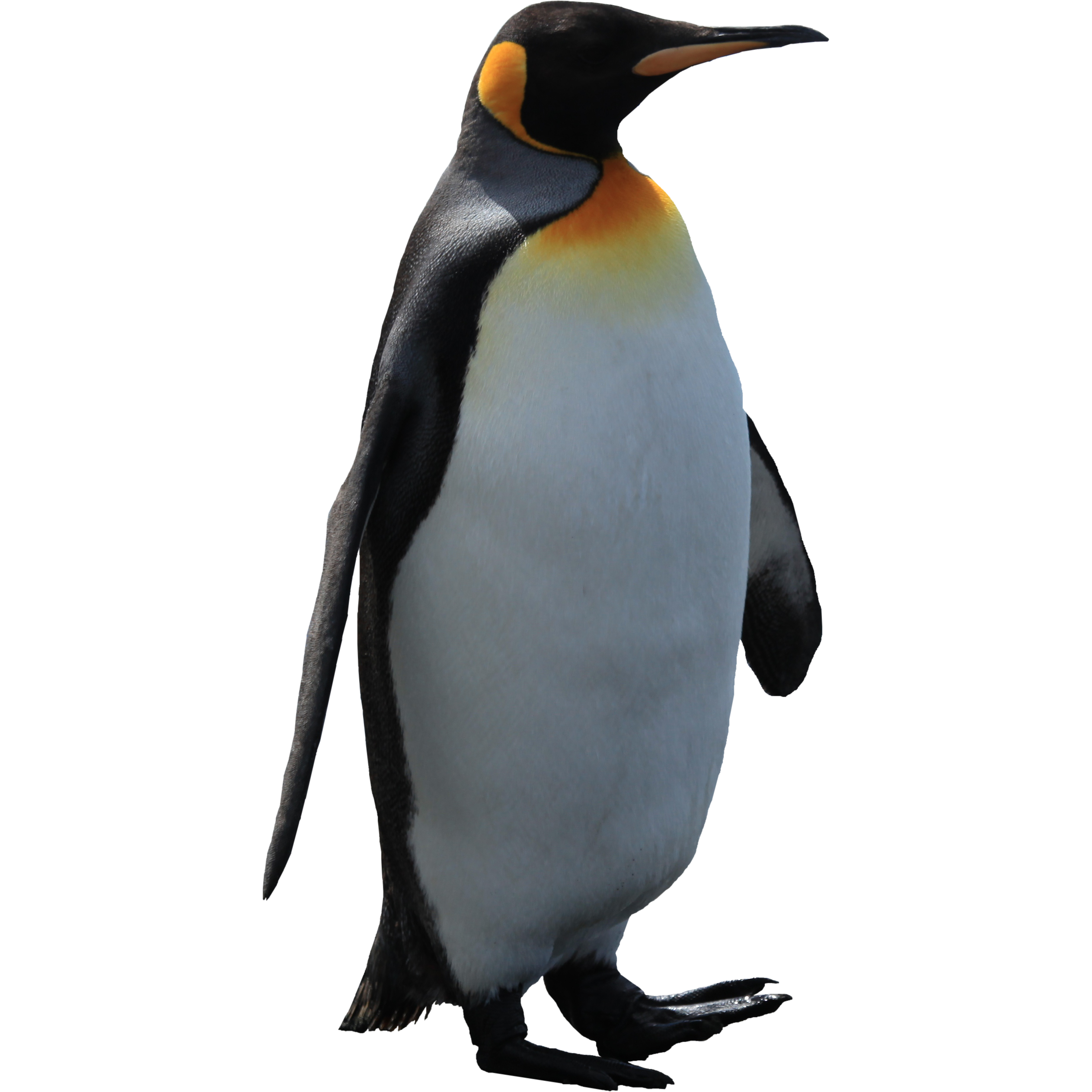 Hd png transparent images. Clipart penquin galapagos penguin