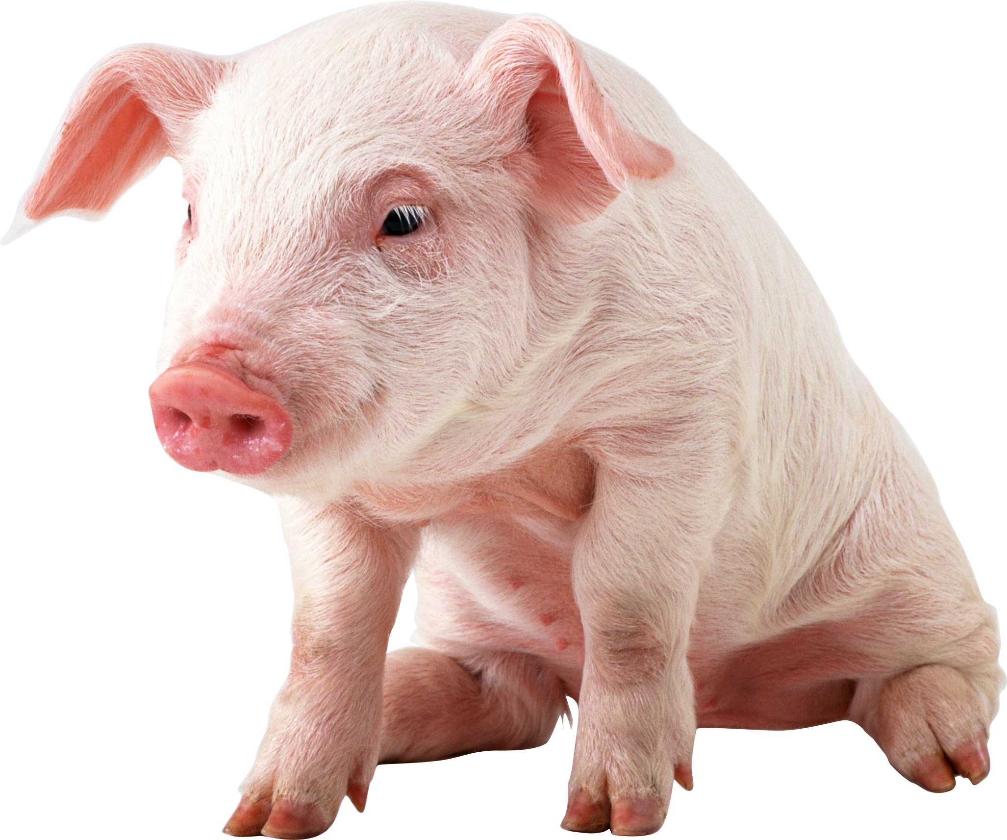 Baby pig png hd. Pigs clipart transparent background