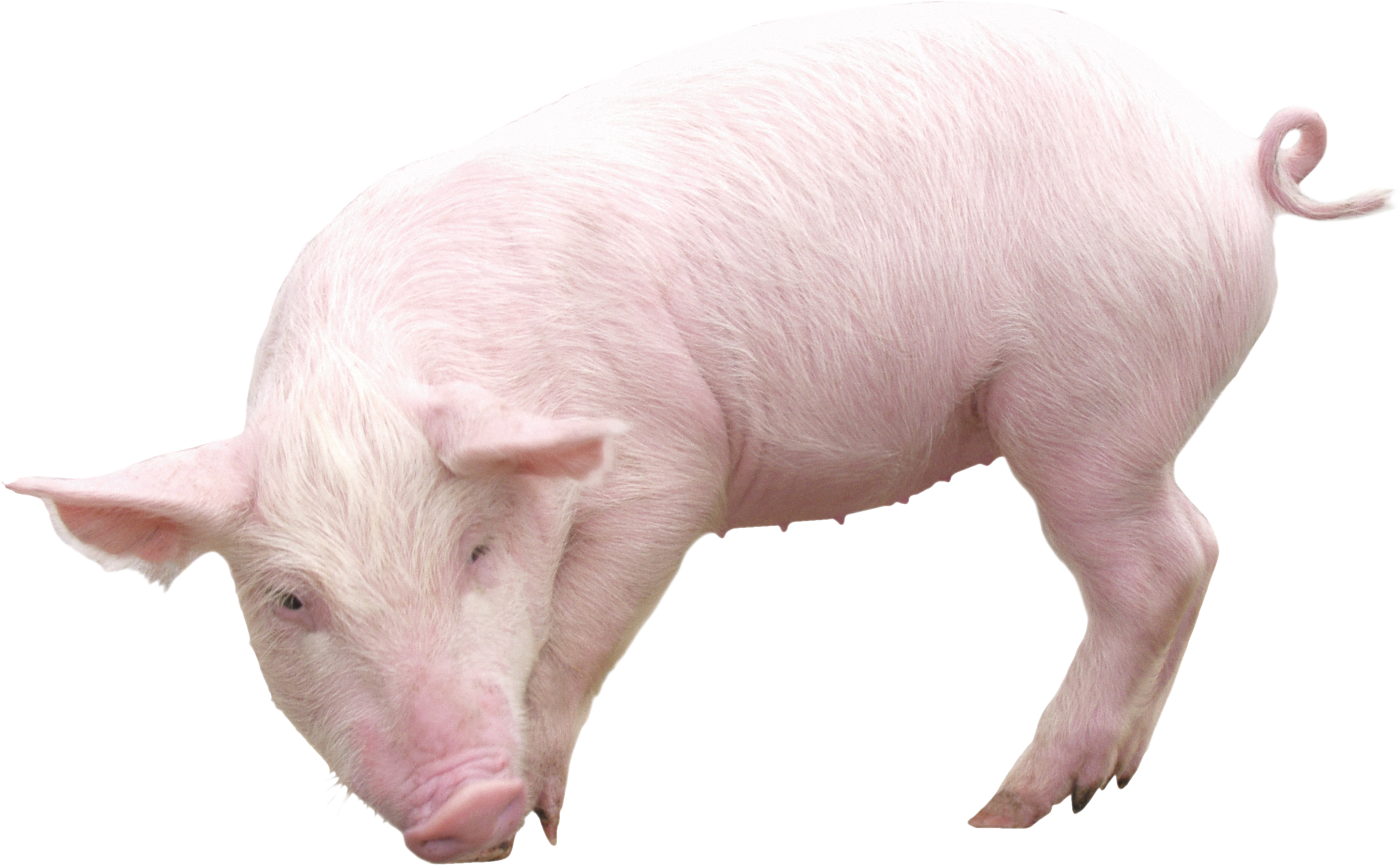 Clipart pig clear background. Seventeen isolated stock photo