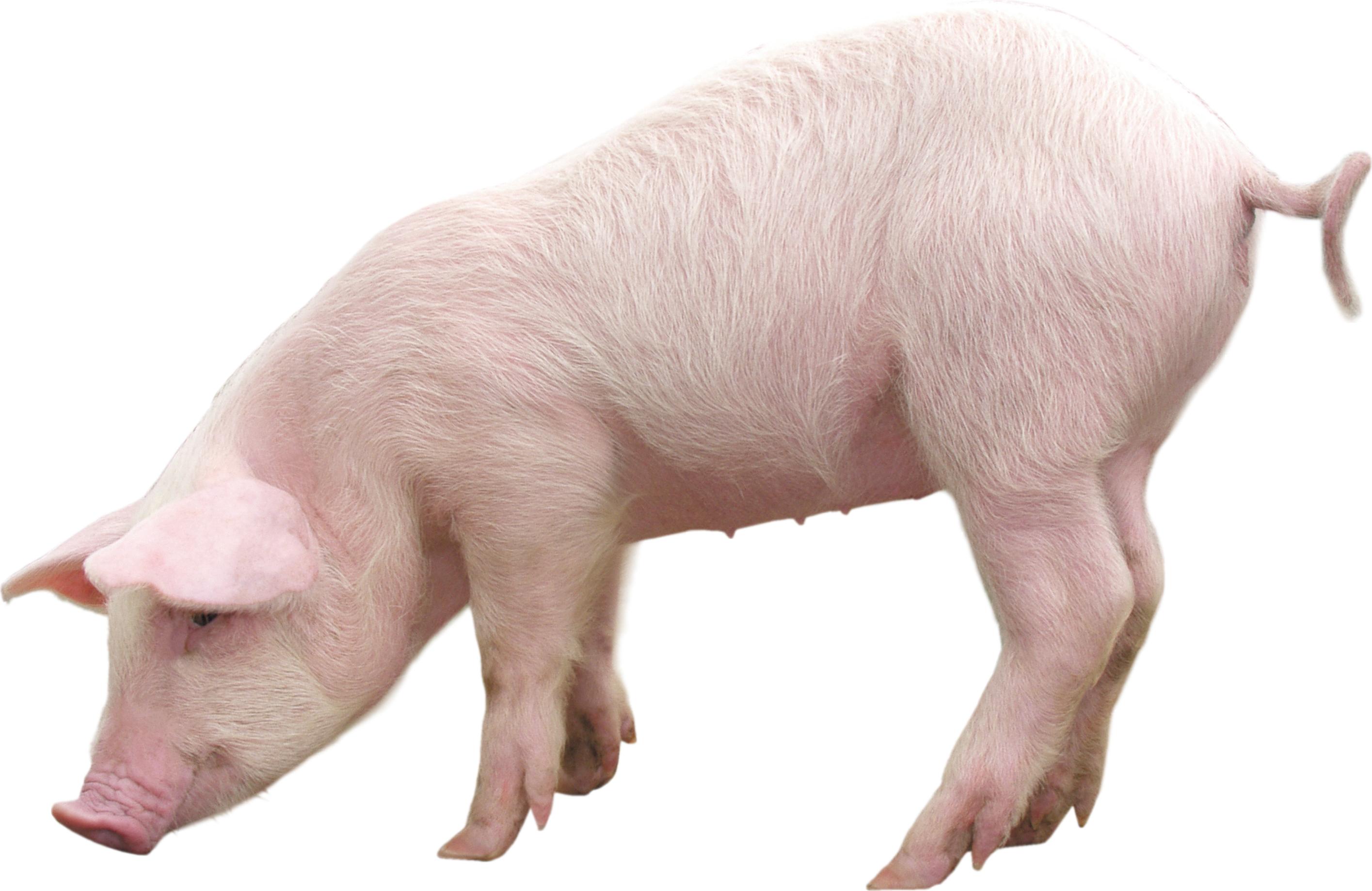 Pig clipart fence. Pictures qygjxz