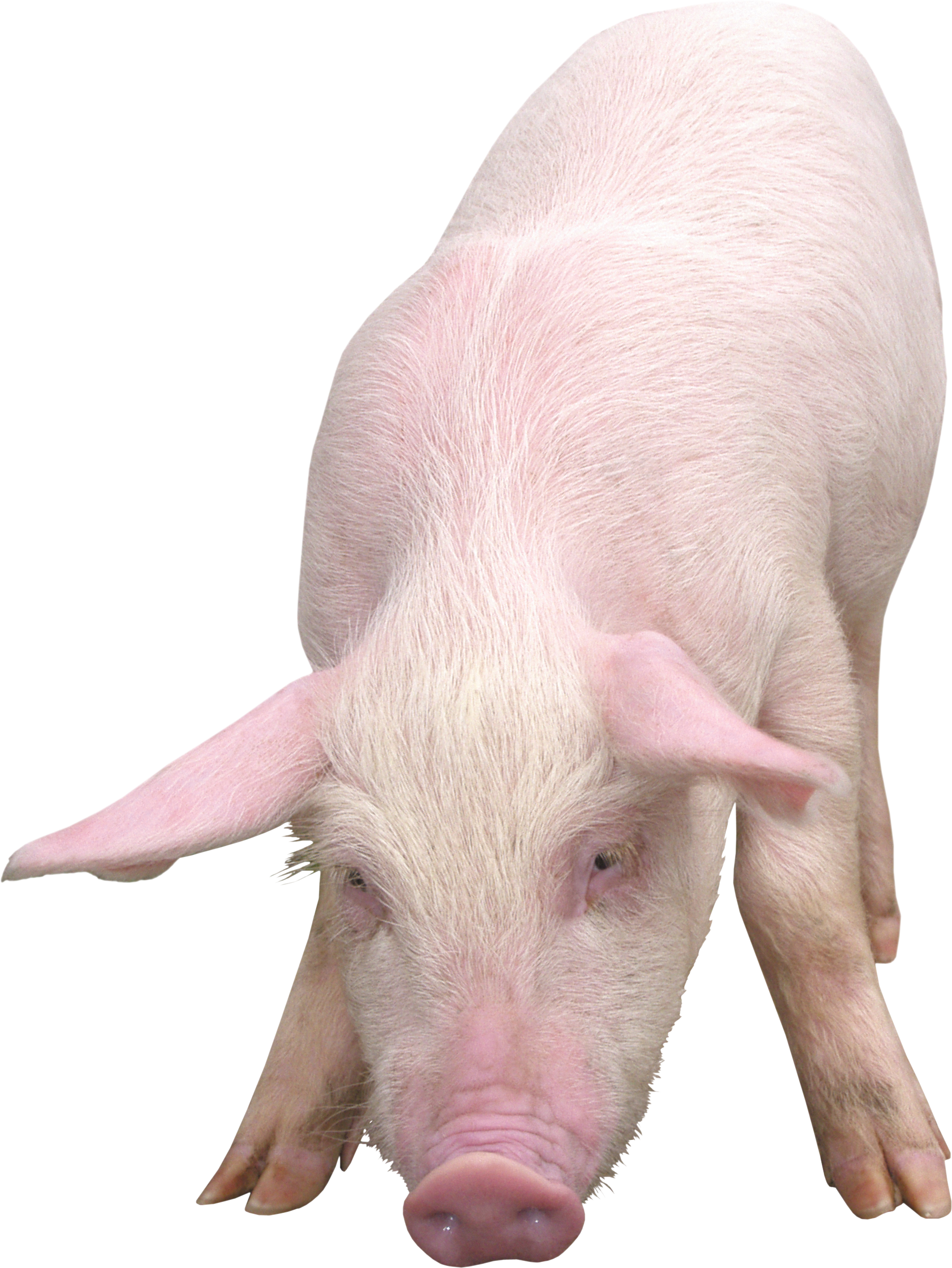 Clipart pig four. Png image without background