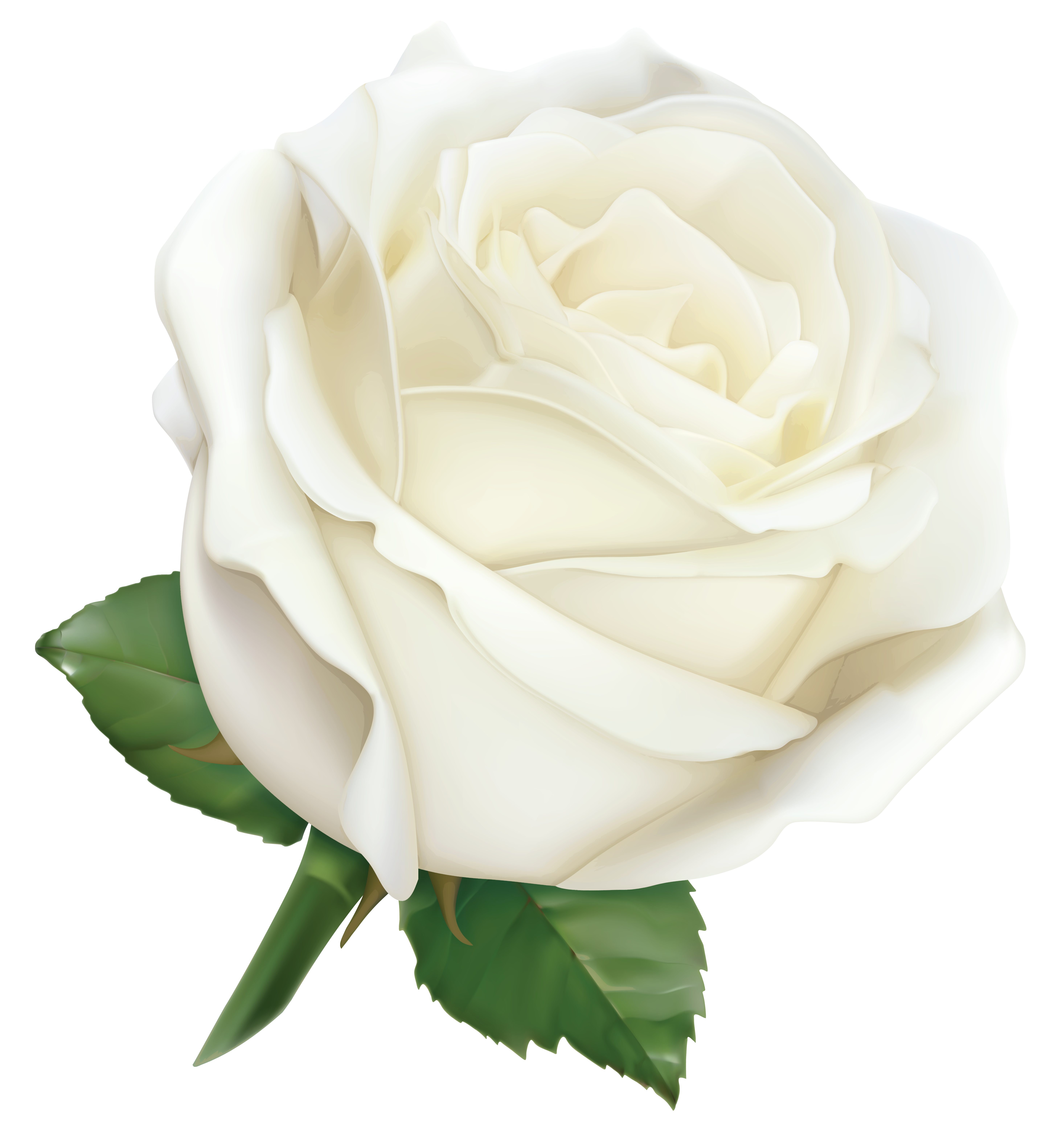 Clipart roses pearl. Large white rose png