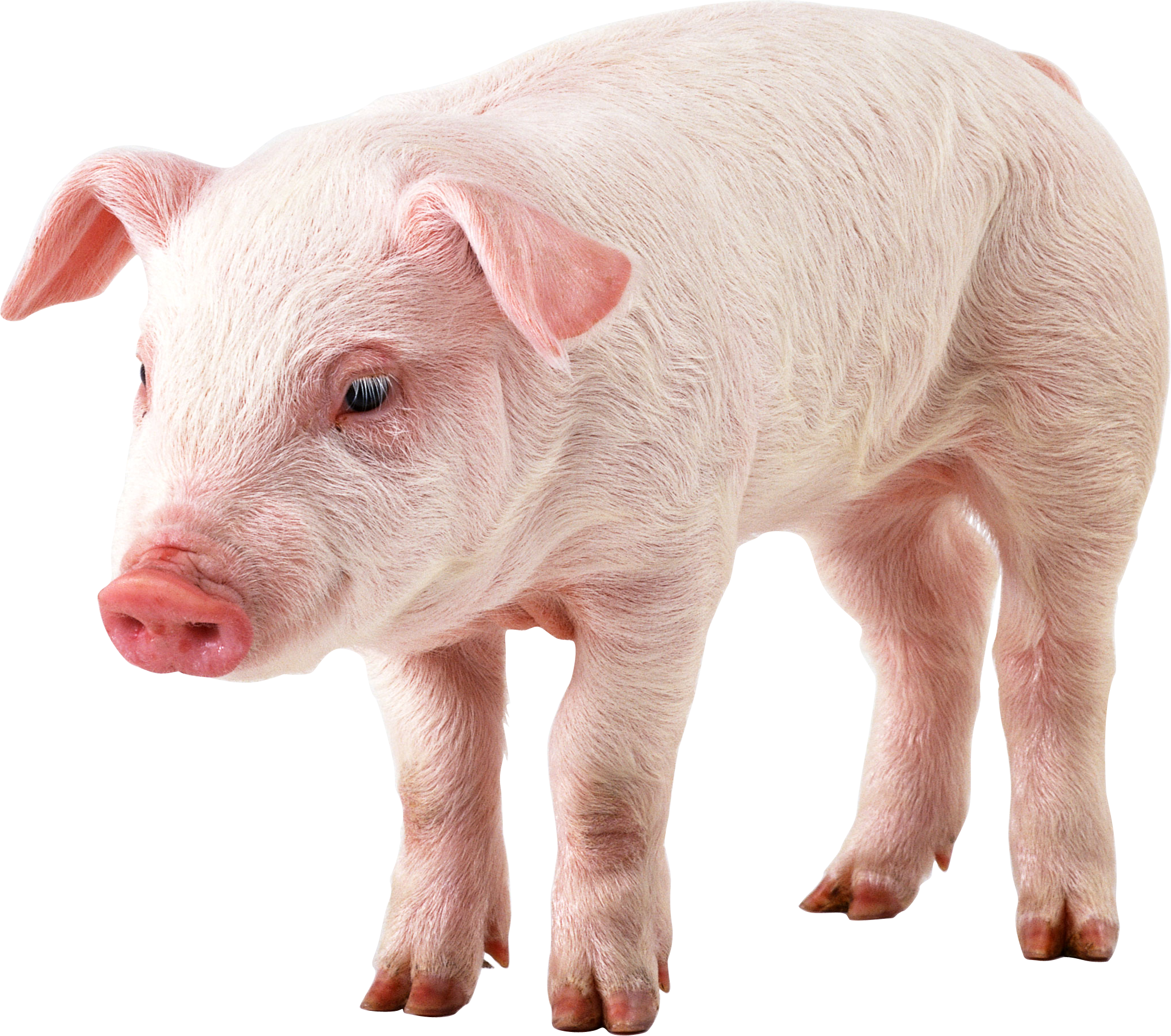 Six isolated stock photo. Pig clipart clear background