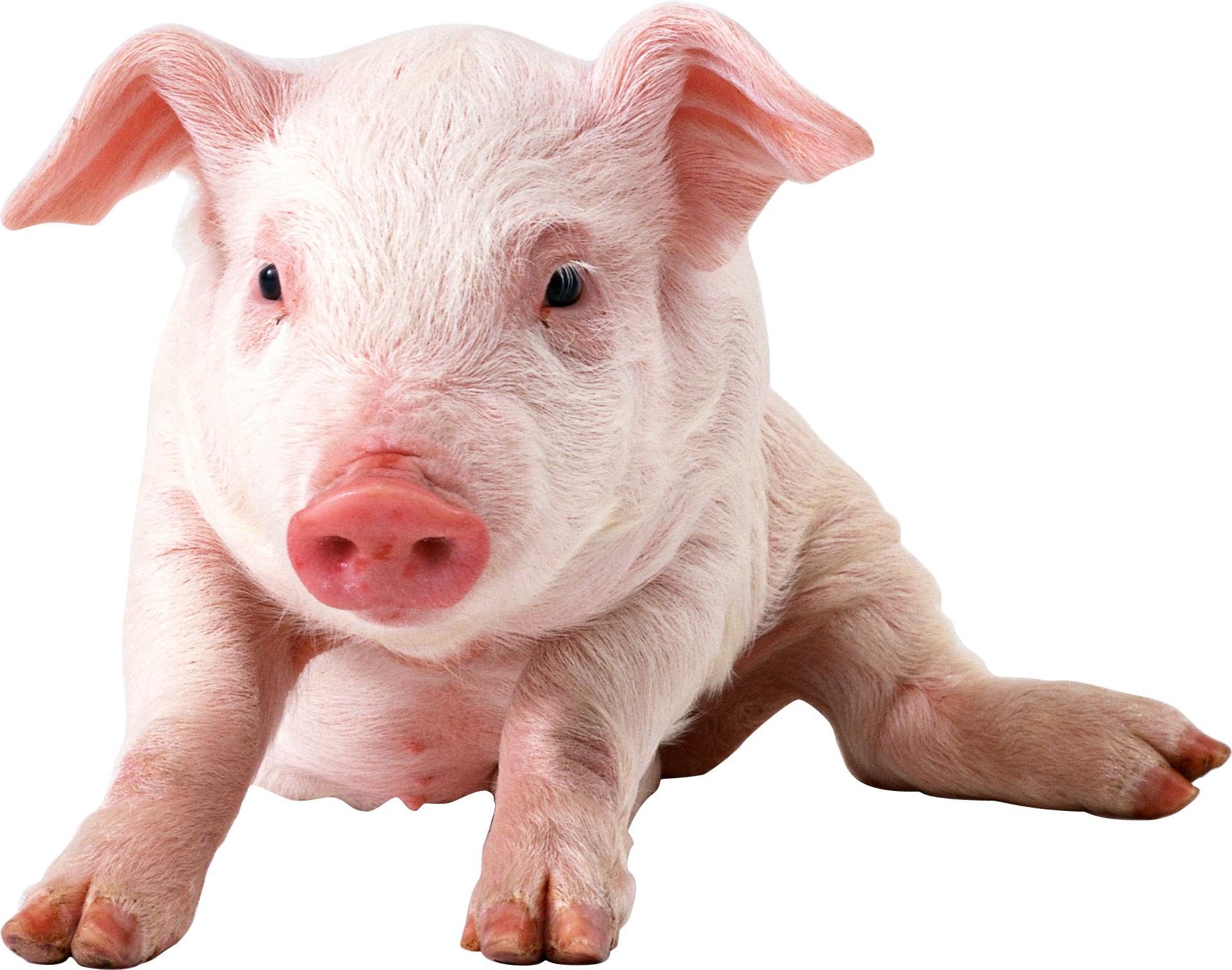Hunter clipart boar. Pig eight isolated stock