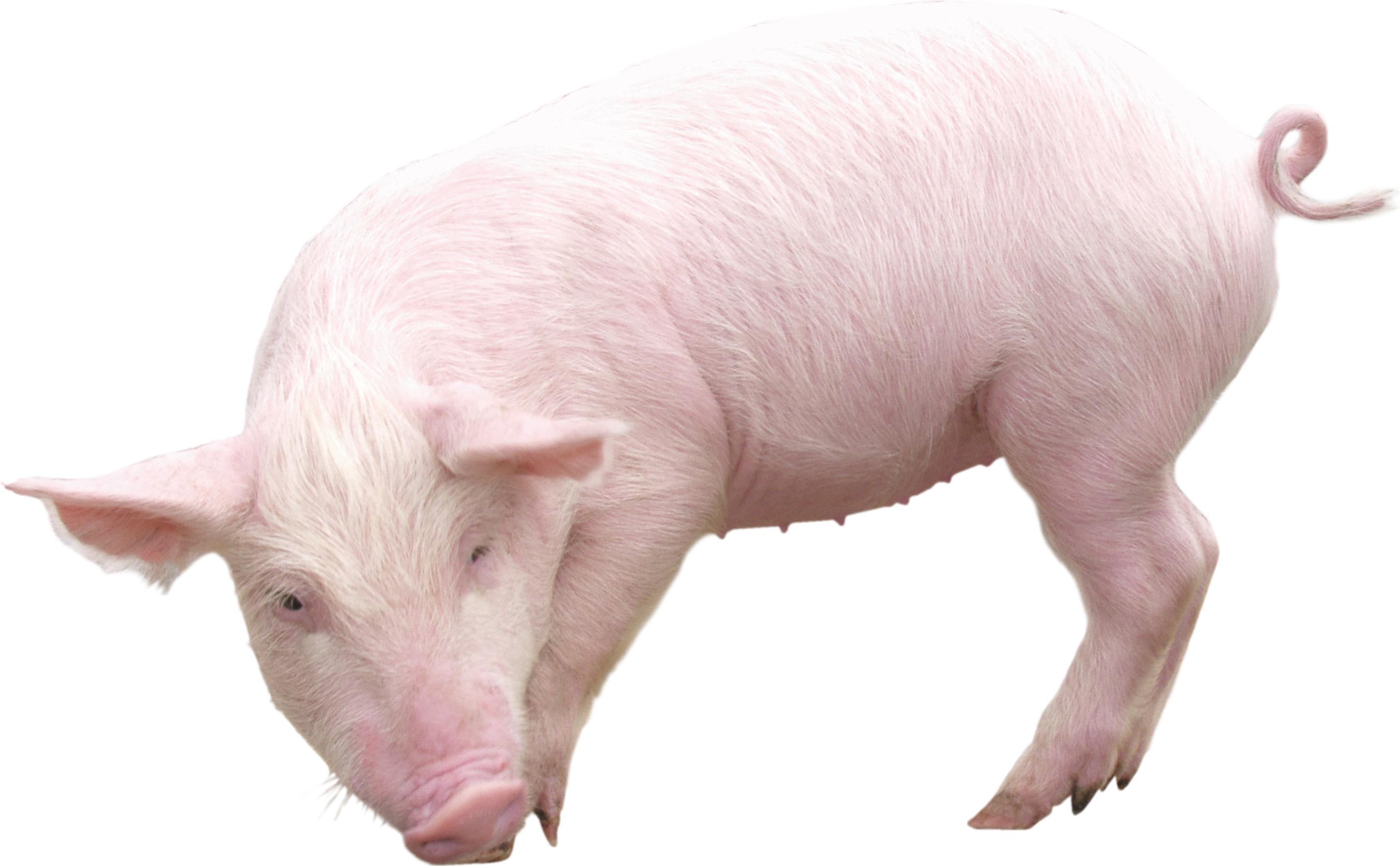 Hog clipart transparent background. Pig png images free