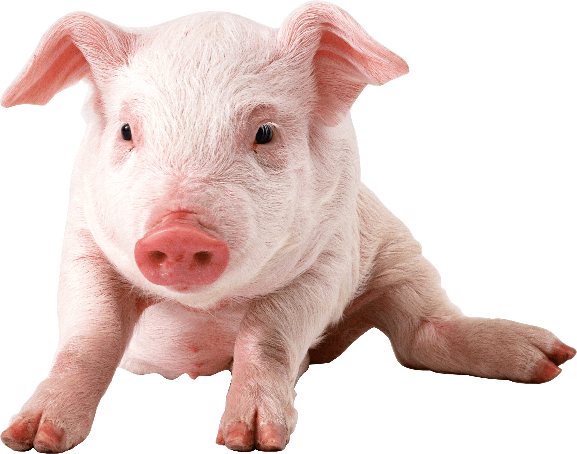 Pigs clipart transparent background. Baby pig sitting png