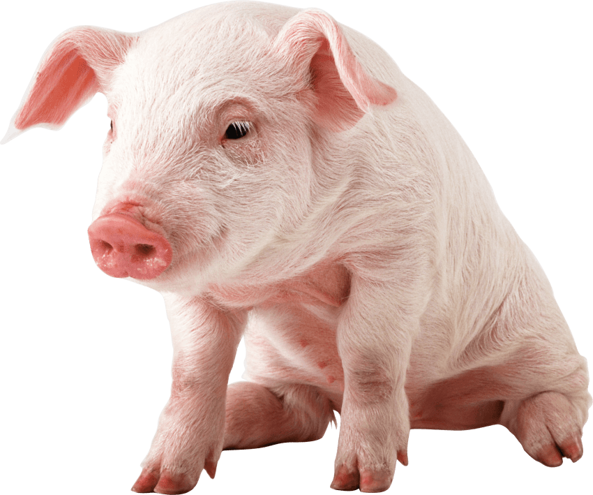 Sitting baby png free. Clipart pig transparent background