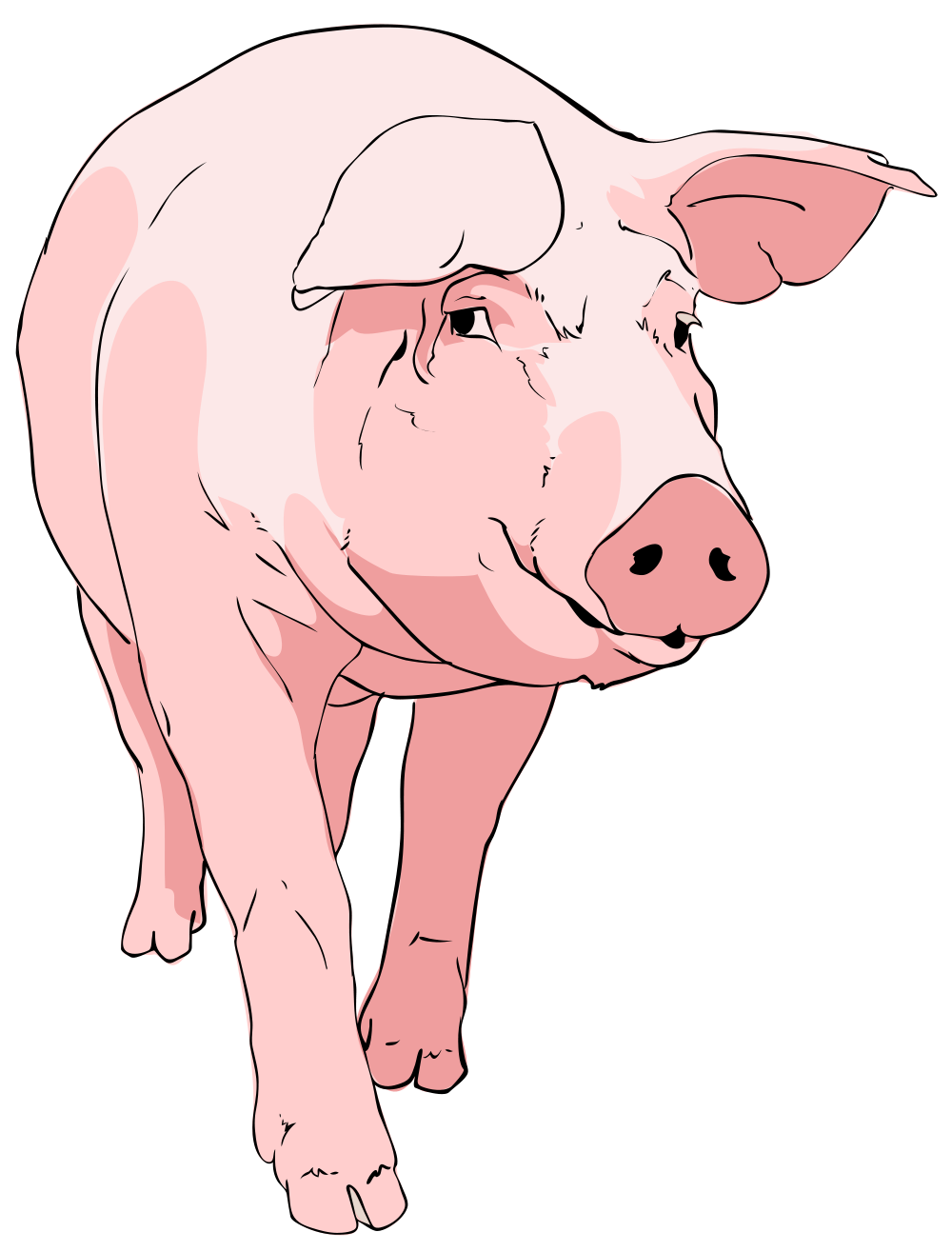 Pig clipart fetal pig. File svg wikimedia commons