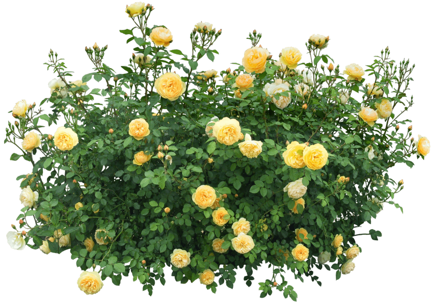 With roses free images. Clipart png bush