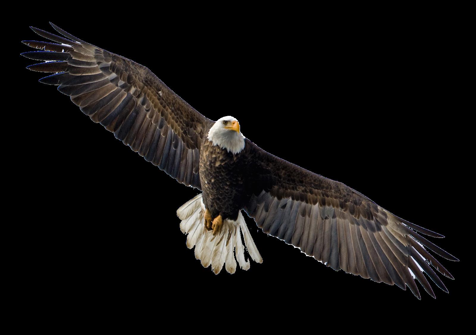 Clipart png eagle. Hq transparent images pluspng